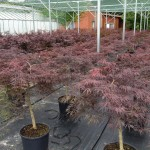 Acer palmatum Dissectum Stamm