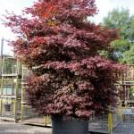Acer palmatum 'Atropurpureum' 6