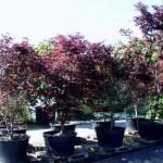 Acer palmatum 'Bloodgood' 5