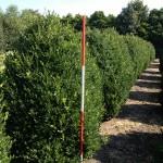 Buxus sempervirens arborescens