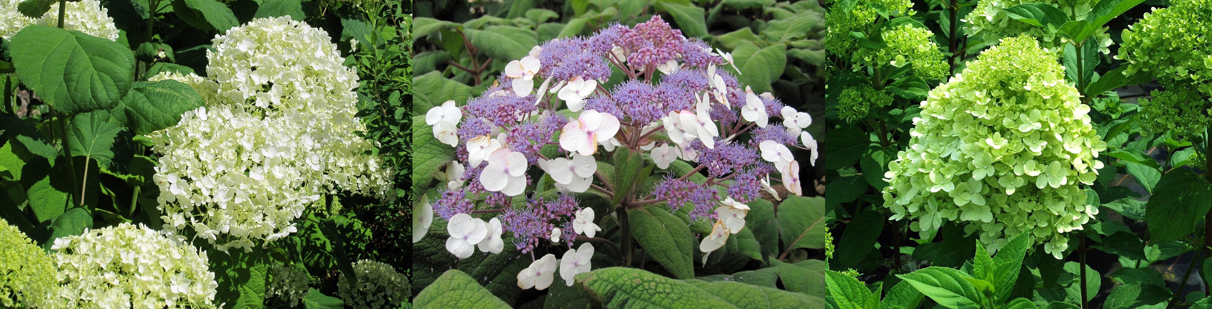 Hydrangea arborescens Annabelle, Hydrangea aspera Macrophylla, Hydrangea paniculata Limelight