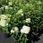 Hydrangea paniculata 'Vanille-Fraise'