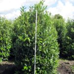 Prunus lauroc.'Herbergii'