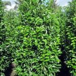 Prunus lauroc. 'Genolia'