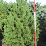 Pinus mugo Rostrata