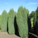 Juniperus com.'Hibernica'