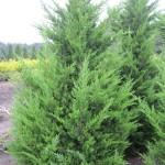 Juniperus chin.'Kaizuka'