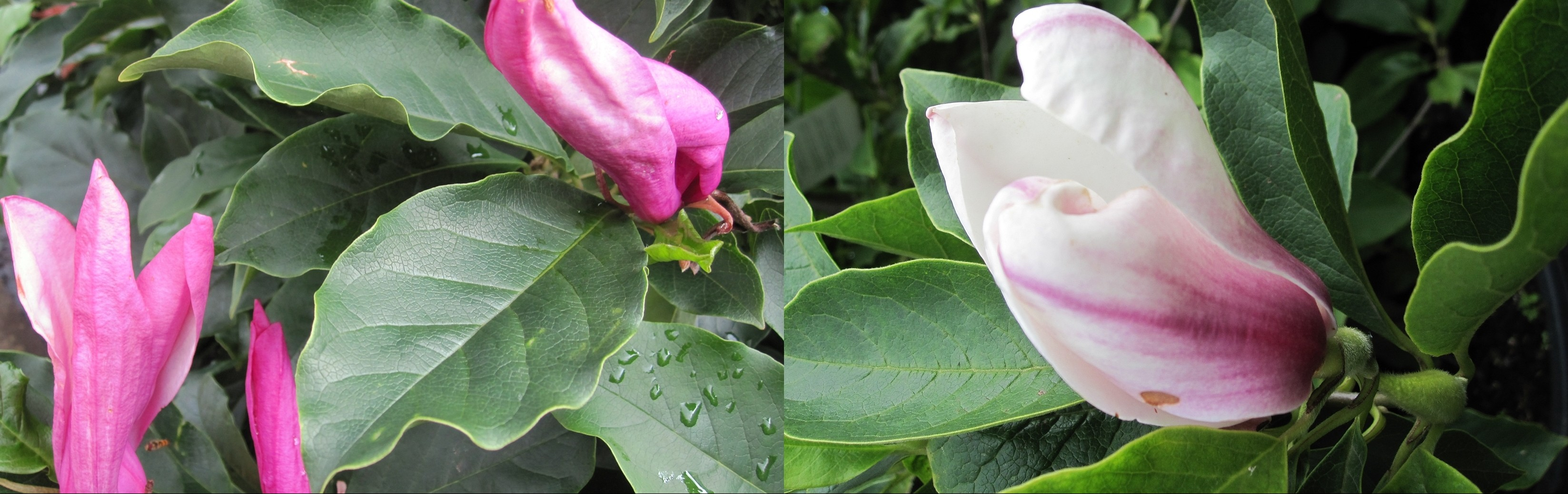 Magnolia soulangiana, Magnolia liliiflora Nigra