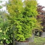 Acer palmatum Sangoku