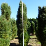 Pinus nigra pyramidata