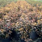 Physocarpus opulifolius Diable dOr