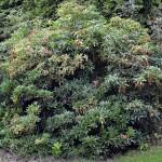 Pieris japonica Forest Flame