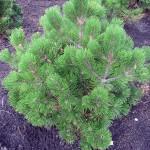 Pinus heldreichii Compact Gem