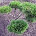 Pinus mugo Gnom Bonsai