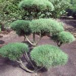 Pinus Norske Bonsai 2