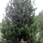 Pinus heldreichii leucodermis