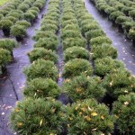 Pinus mugo mughus 7