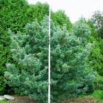 Pinus parviflora 'Glauca' 2
