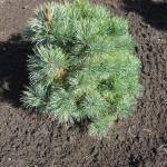 Pinus pumilia Glauca