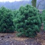 Pinus sylvestris 'Watereri' 2