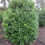Prunus lauroc.'Etna'