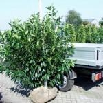 Prunus laurocerasus 'Caucasica' 2