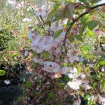 Prunus subhirtella 'Accolade'