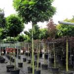 Quercus palustris Green Dwarf