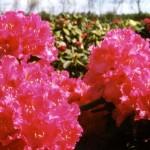 Rhodo.Blüte