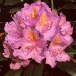 Rhododendron Hybr. 'Cat. Boursault'