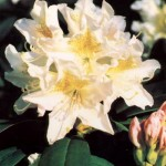 Rhododendron Hybr. 'Cunningham´s White' 1