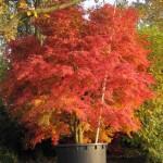 Acer palmatum herbst