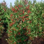 Ilex aquifolium Nellie Stevens