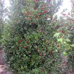Ilex aquifolia Siberia