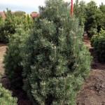 Pinus mugo 'Columnaris'