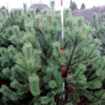 Pinus mugo 'Rostrata'