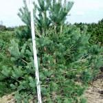 Pinus sylvestris 'Norske Typ'