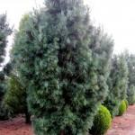 Pinus wallichiana 'Densa Hill'