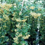 Pyracantha coccinea 'Soleil d`Or' 1