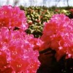 Rhododendron Hybr. 'Nova Zembla'