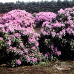 Rhododendron Hybr. 'Roseum Elegans'
