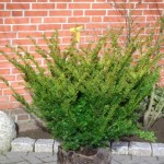 Taxus media 'Farmen'