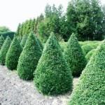 Buxus semp arborescens - Kegel