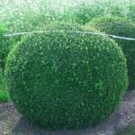 Buxus semp arborescens - Kugel