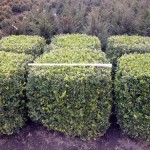 Buxus semp arborescens - Würfel