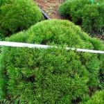 Pinus mugo pumilio lebende Steine
