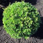 Ilex Dark Green Kugel