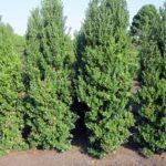 Ilex latifolia2