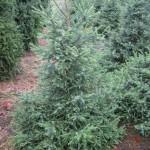 Picea Little Boy