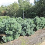 Pinus parviflora 'Schoon's Bonsai'